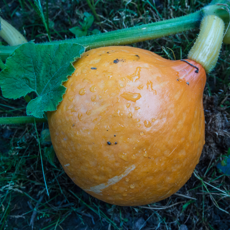 how to grow red kuri squash